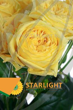Бандолеро роза кустовая